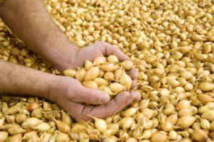 Как выбрать лук-севок